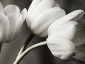 Row Of Bw Tulips Canvas Art