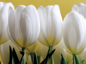 Row Of White Tulips On Yellow Canvas Art