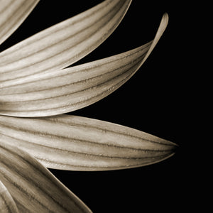 Sepia Petals on Black Canvas Art