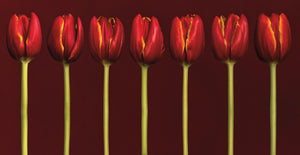 Seven Tulips in a Row Canvas Art