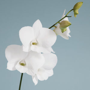 White Orchid on Blue 01 Canvas Art