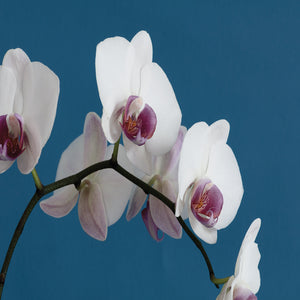 White Orchids on Blue Canvas Art