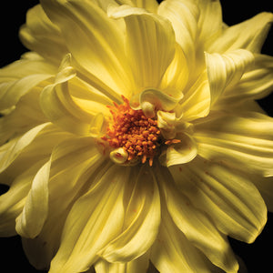 Yellow Flower Photography Canvas Art