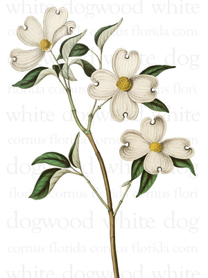 White Dogwood Text Canvas Print