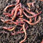 Worms, Red