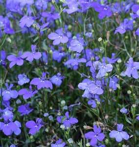 Midnight Blue-Lobelia
