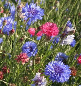 Tall Mixed Cornflowers