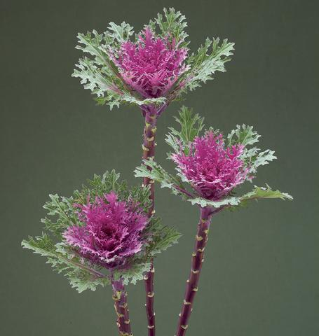Crane Feather Queen-Ornamental Kale Seeds