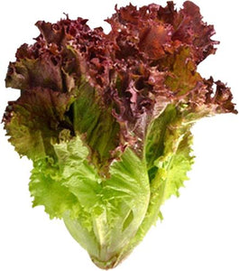Red Leaf Lettuce 紅葉生菜