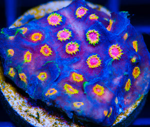 How to Acclimate Coral Frags