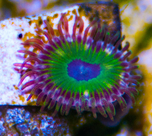GB Pimp Out Zoas Zoanthids-MyReefToYours-Live Coral Frags