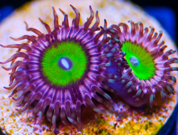 Chuckies Bride Palys Zoanthids-MyReefToYours-Live Coral Frags