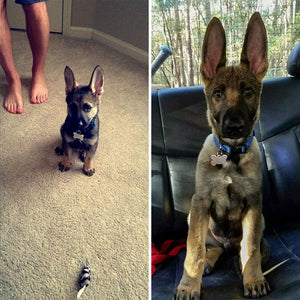 40 Times German Shepherd Puppies Were The Purest Things In The World
