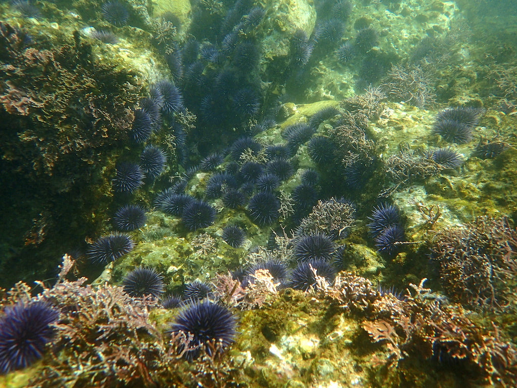 Purple sea urchin barrens are in full force, and need to be cleared at the SeaTrees kelp restoration project.