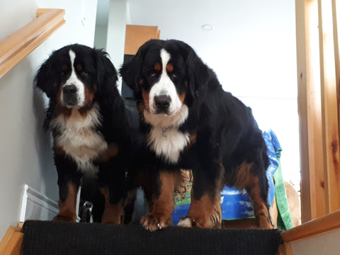bernese lola and winnie