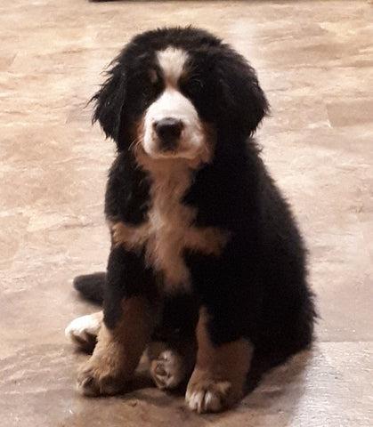 bernese mountain dog puppy ckc