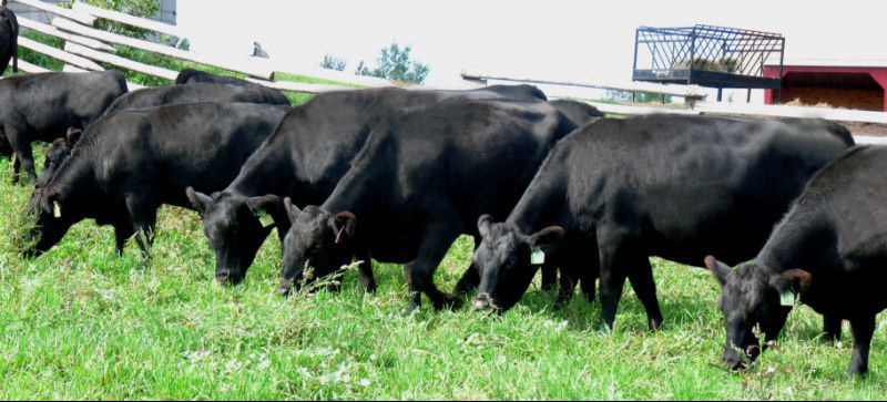 Northstar Livestock registered black angus cattle heifers bulls calves for sale Ontario Canada
