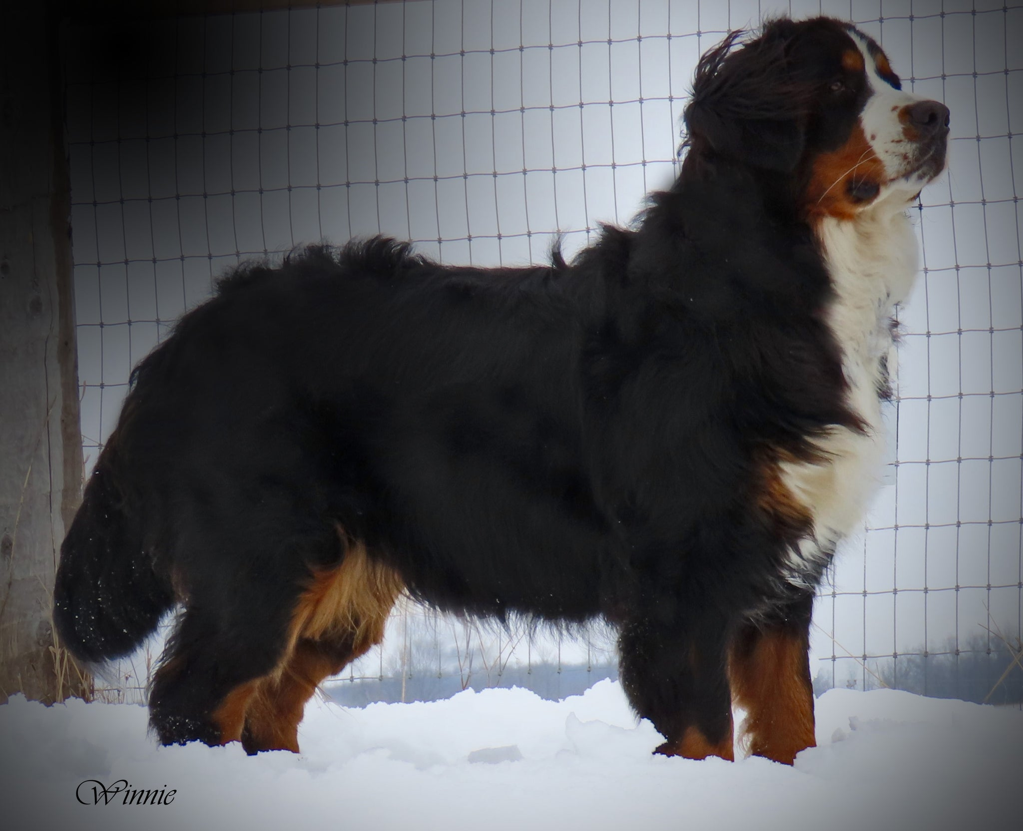 Winnie Canadian Kennel Club Bernese Mountain Dog Female