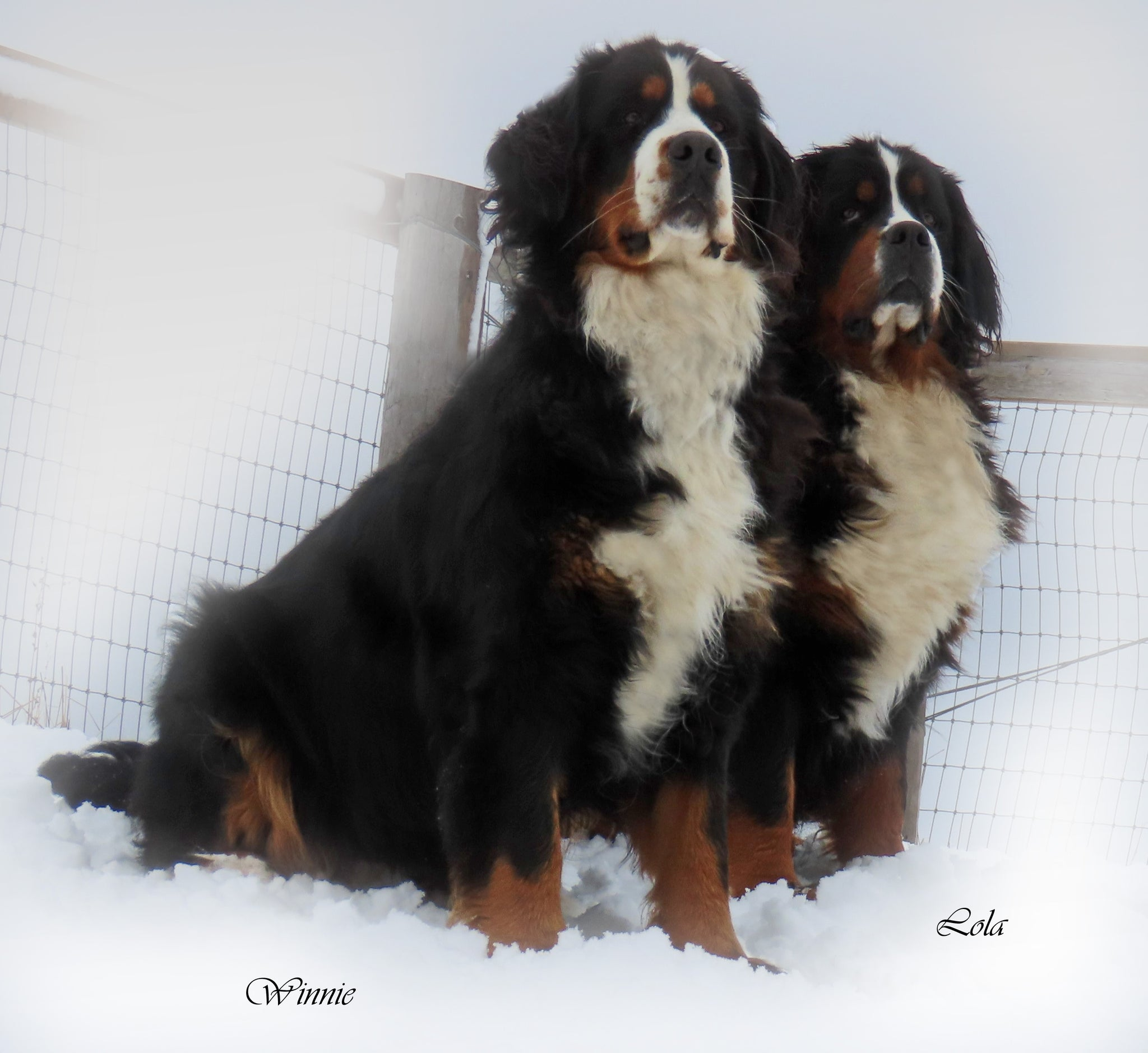 Lola and Winnie CKC bernese Mountain dog females