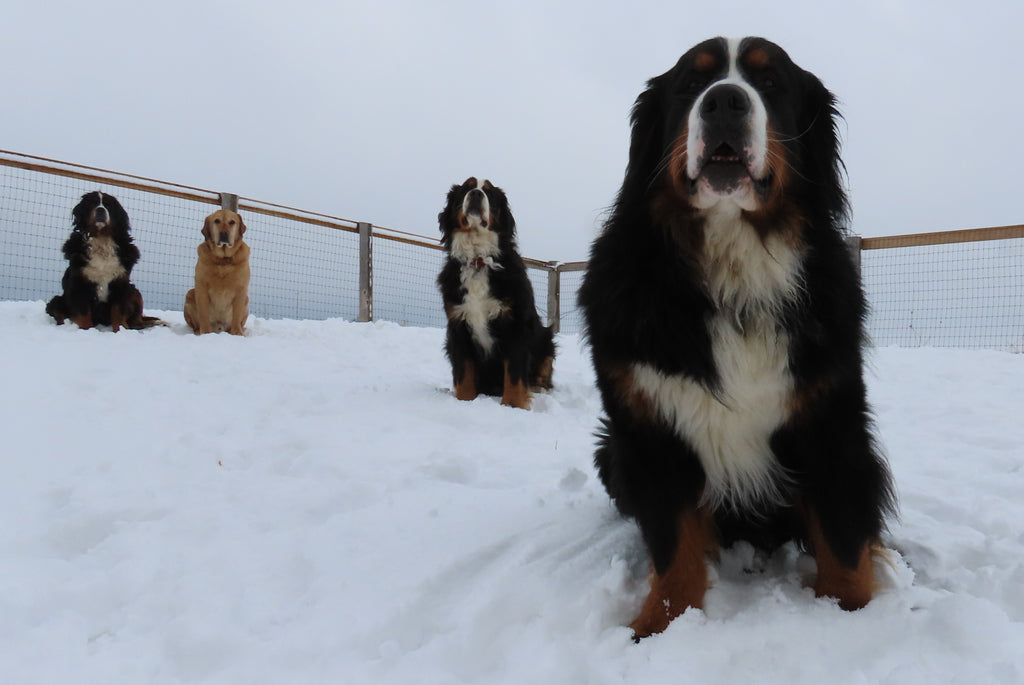 bernese mountain dogs registered ckc