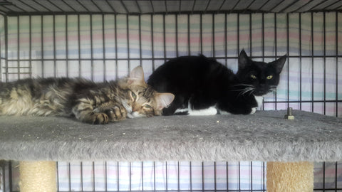 Nyler and Oreo - cats for adoption