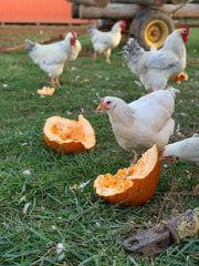 Delaware chickens foraging