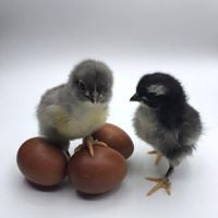 Copper Marans chicks and eggs