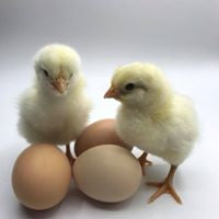 Delaware chicks with eggs