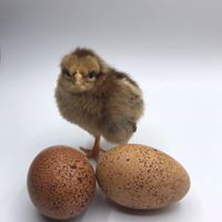 Welsummer chick with eggs