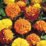 French Marigold Boy 'o' Boy