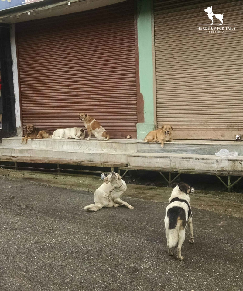 Stray dogs on road