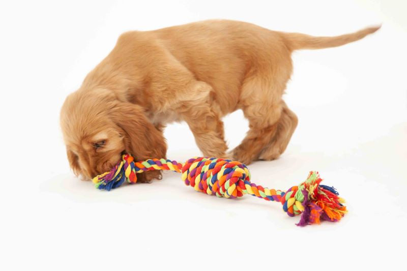 Puppy playing rope