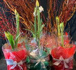 SPECIAL: Jumbo Amaryllis - Potted & Wrapped ($40)