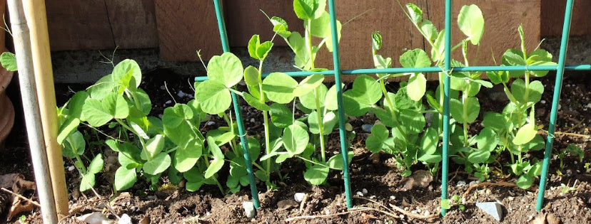 growing veggies seeds peas
