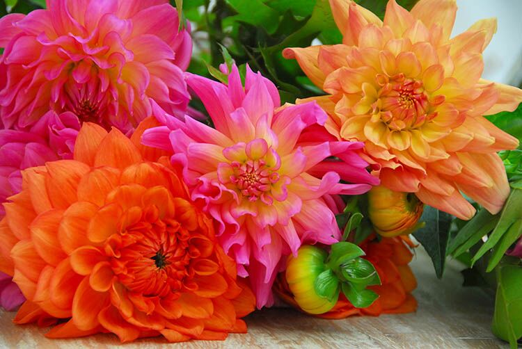 Buy Dahlia Tubers at Campbell River Garden Centre