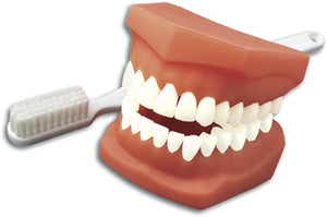 Full Mouth Model with Toothbrush