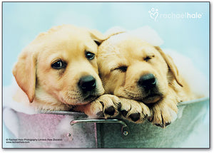 Bucket Dogs Postcard