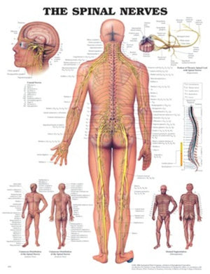 The Spinal Nerves Poster (Soft Lamination)