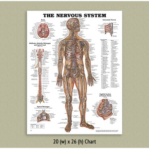 Nervous System chart -  (Laminated)