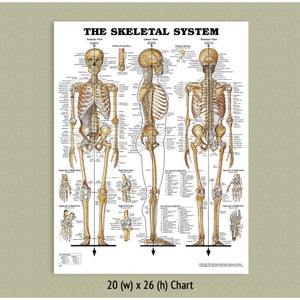 Skeletal System Chart -  (Laminated)