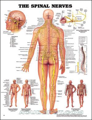 Laminated Spinal Nerves Chart - LASPIN