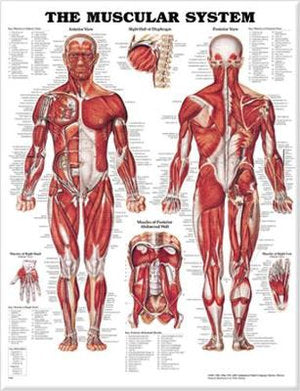 Muscular System Chart -  (Laminated)