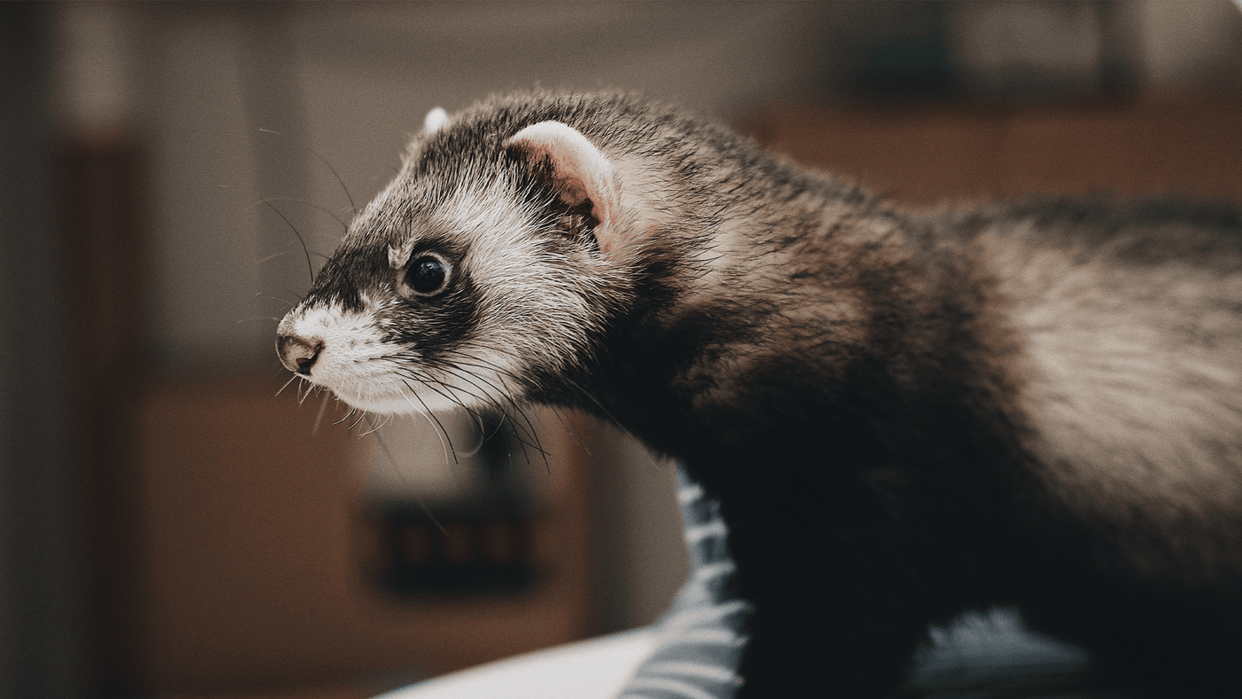 For Ferrets