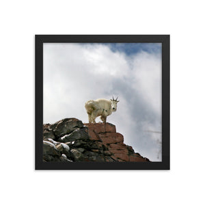 Framed poster - Rocky Mountain Goat