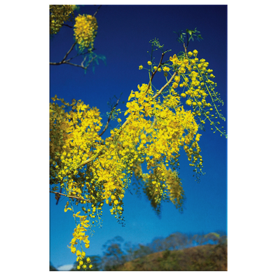 Golden Rain Tree Costa Rica Canvas Wall Art