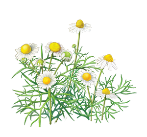 An illustration for Chamomile herbs