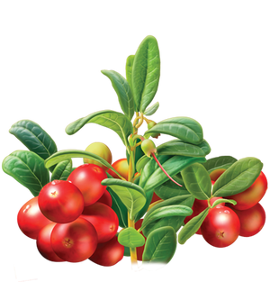 Illustration of Cranberries