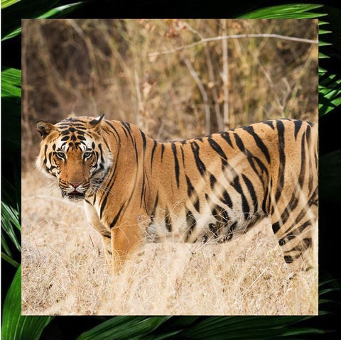 ALL TIGERS tiger preservation