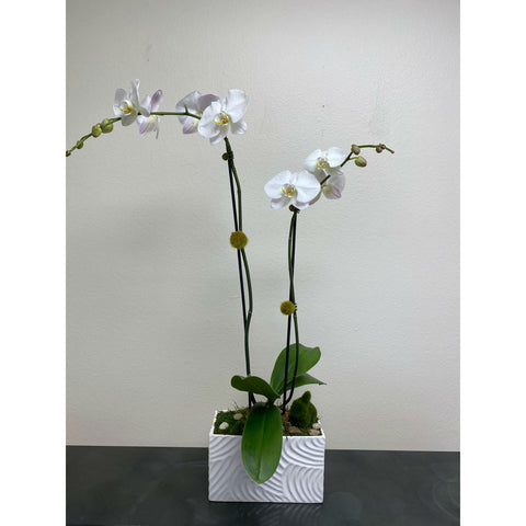 Paradise Orchid