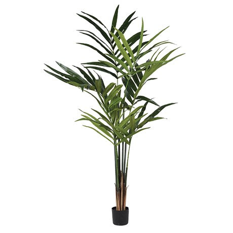 Green Kentia Palm in Black Plastic Pot
